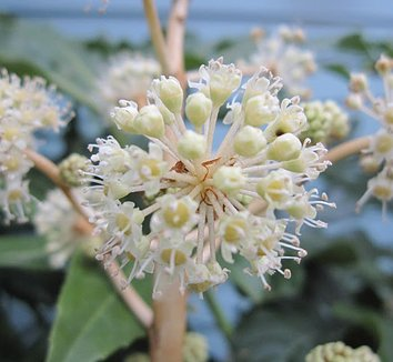 Fatsia japonica 21 flower