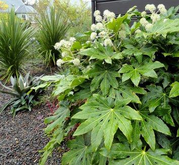 Fatsia japonica 30 flower