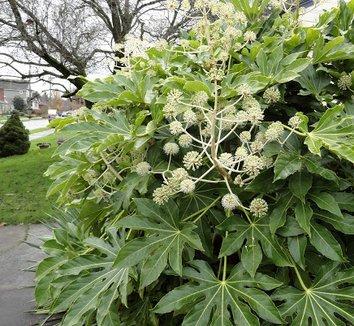 Fatsia japonica 32 flower