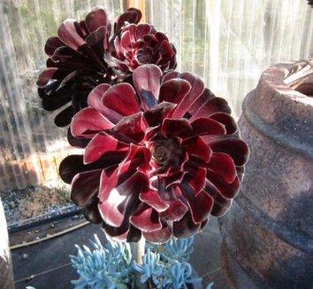 Aeonium 'Zwartkop' 6 flower