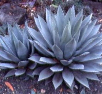 Agave parryi 19
