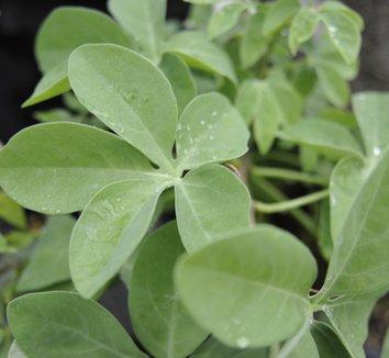 Adenia fruticosa 4