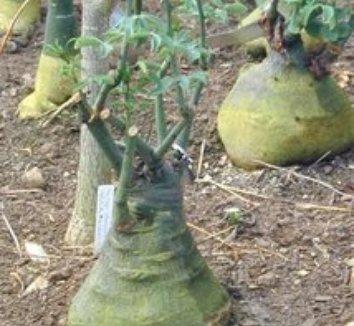 Adenia fruticosa 5