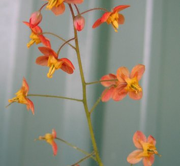 Epimedium x warleyense 'Orangekönigin' 1