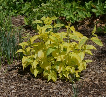 Cornus sericea 'Hedgerow's Gold' 8