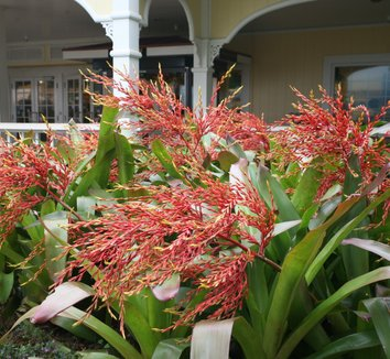 Aechmea blanchetiana 2 flower, form
