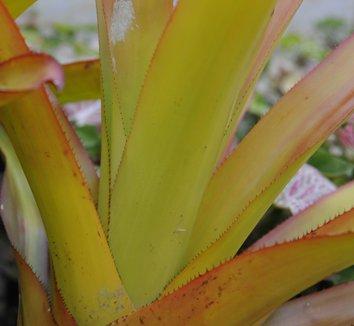 Aechmea blanchetiana 4