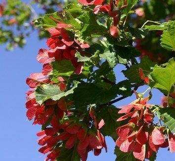 Acer tataricum 'GarAnn' PP15023 1