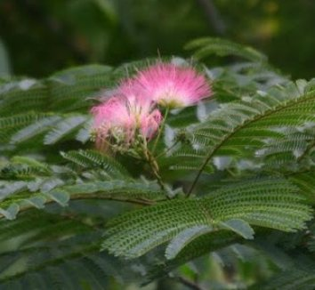 Albizia julibrissin 4 flower