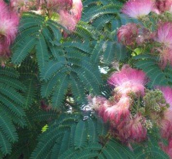 Albizia julibrissin 5 flower