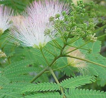 Albizia julibrissin 7 flower