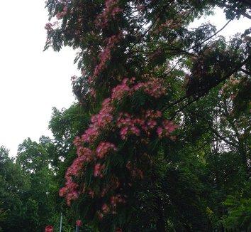 Albizia julibrissin 10 flower