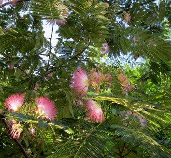 Albizia julibrissin 12 flower