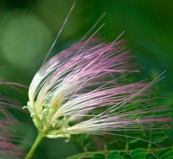 Albizia julibrissin 14 flower