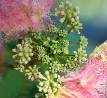 Albizia julibrissin 17 flower
