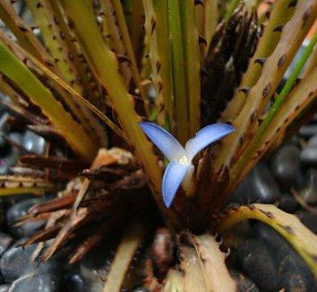 Araeococcus flagellifolius 4 flower