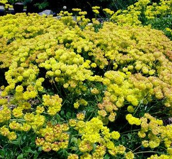 Eriogonum umbellatum var. aureum 'Psdowns' 5 flower