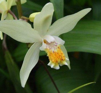 Bletilla ochracea 1 flower
