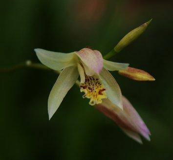 Bletilla ochracea 12 flower