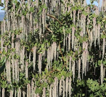 Garrya elliptica 'James Roof' 1 flower