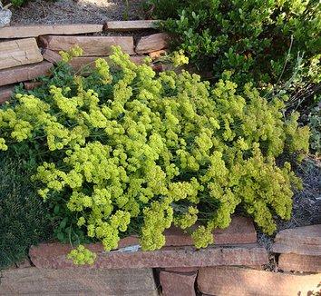 Eriogonum umbellatum var. aureum 'Psdowns' 1 flower