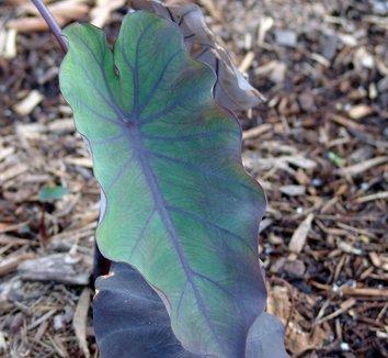 Colocasia antiquorum 'Illustris' 2
