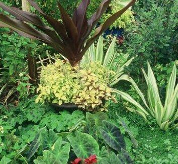 Colocasia antiquorum 'Illustris' 4
