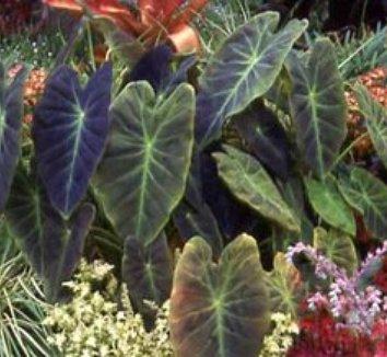 Colocasia antiquorum 'Illustris' 1
