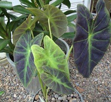 Colocasia antiquorum 'Illustris' 11