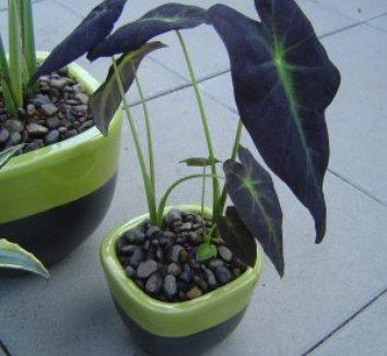 Colocasia antiquorum 'Illustris' 14