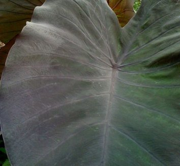 Colocasia esculenta 'Black Magic' 5