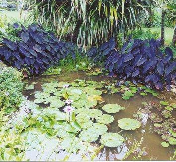 Colocasia esculenta 'Black Magic' 8