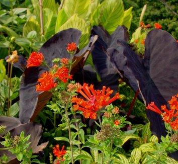 Colocasia esculenta 'Black Magic' 9