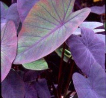 Colocasia esculenta 'Black Magic' 1