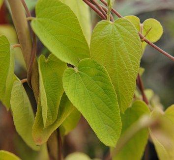 Dalechampia dioscoreifolia 2