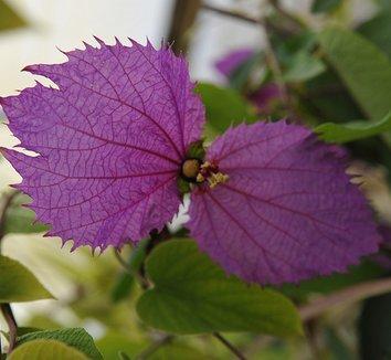 Dalechampia dioscoreifolia 1 flower