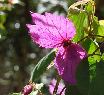 Dalechampia dioscoreifolia 4 flower
