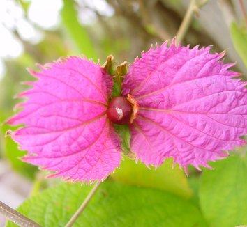 Dalechampia dioscoreifolia 6 flower