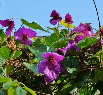 Dalechampia dioscoreifolia 8 flower