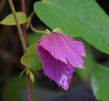 Dalechampia dioscoreifolia 10 flower