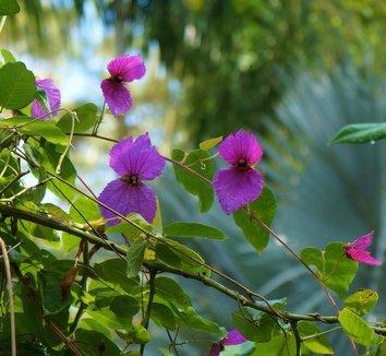 Dalechampia dioscoreifolia 11 flower