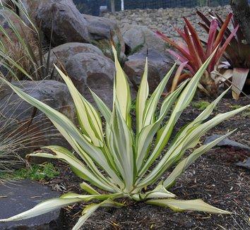 Furcraea gigantea 'Variegata' 1 form