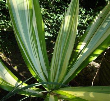 Furcraea gigantea 'Variegata' 5