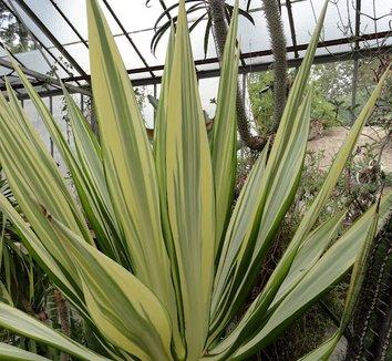 Furcraea gigantea 'Variegata' 6