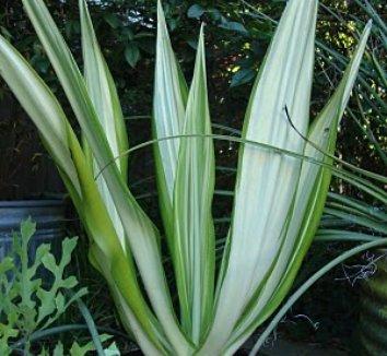 Furcraea gigantea 'Variegata' 7
