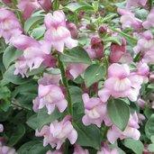 Antirrhinum hispanicum 'Roseum'