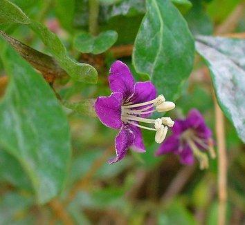 Lycium barbarum 1 flower