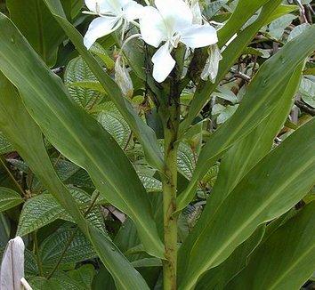 Hedychium coronarium 6 flower