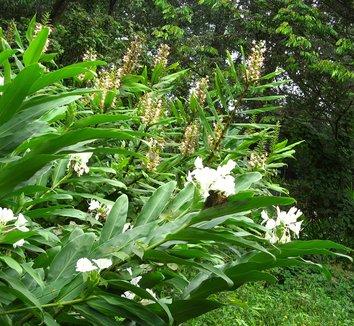 Hedychium coronarium 1 flower, form