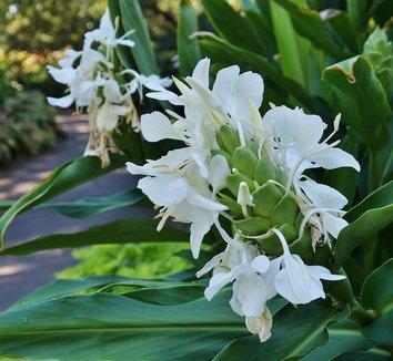 Hedychium coronarium 10 flower